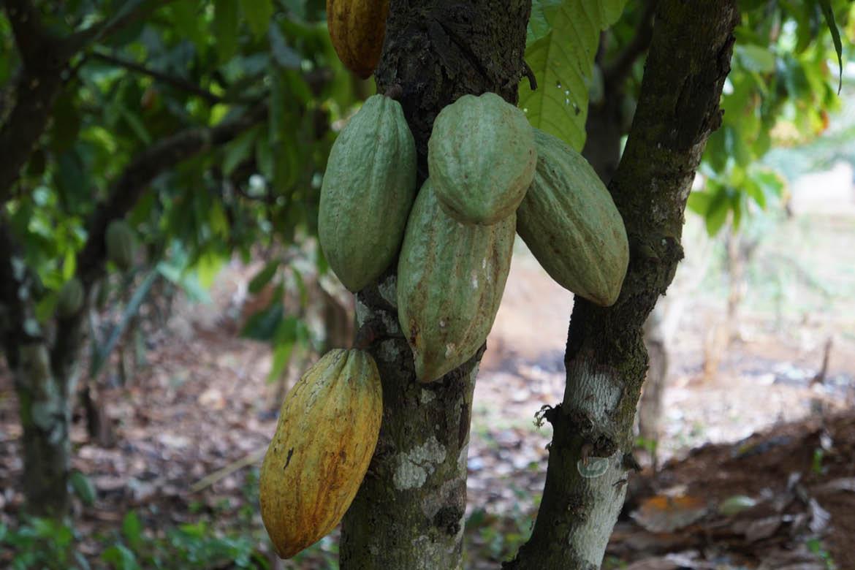 Kakaoplante